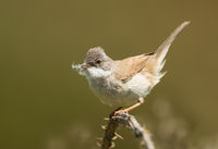 Common Whitethroat with nesting material