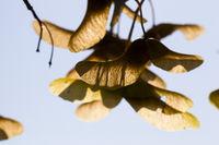 maple autumn seeds