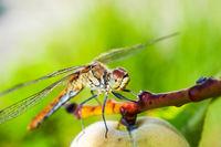 Libelle auf einem Obstbaum