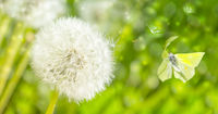 Dreamy dandelions blowball flowers, seeds fly in the wind and butterfly against sunlight. Macro soft focus. Delicate transparent airy elegant artistic image of spring. Nature greeting card background