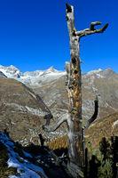 Toter Baum über dem Mattertal mit dem Ort Zermatt, Wallis, Schweiz