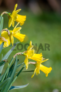 Yellow Narcissus - daffodil on a green background. Spring flower narcissus ( daffodil ), close-up in