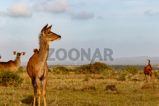 Female Kudu standing and looking to the side