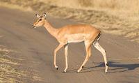 Common Impala (Aepyceros melampus)