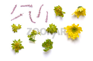 Buds of yellow Chrysanthemums and twigs. Mix of individual elements on a white background. Isolated.