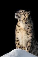 Sunbathing Snow Leopard V
