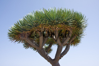 Dragon tree at La Palma, Spain