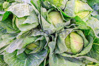 Green cabbage plants as vegetable on market