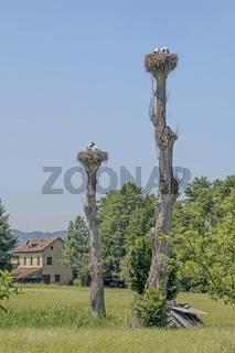 Storchennester im Naturschutzgebiet Greifensee, Kanton Zürich, Schweiz