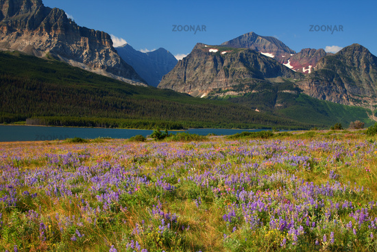 Wildflower meadow in Glacier National Park, Montana