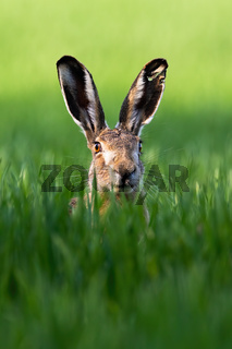Vertical portrait of brown hare, lepus europaeus, in springtime on green field.