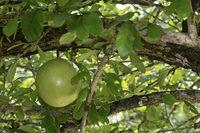 Früchte der Bengalischen Quitte oder Bael (Aegle marmelos), Laos