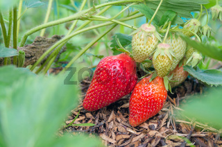 Natural, organic strawberries with green leaves sprouting in a home strawberry garden. Natural green background. Agriculture, bio healthy food.