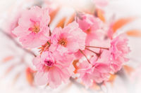 Beautiful sakura pink flower cherry blossom background. Greeting card template. Shallow depth. Soft pastel toned. Spring nature