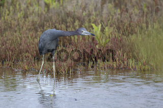 little blue heron who stands in shallow water stretching her neck