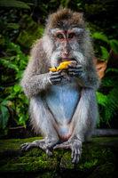 A Wild Monkey Easts A Banana