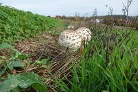 Macrolepiota procera, Schirmpilz, Parasol mushroom