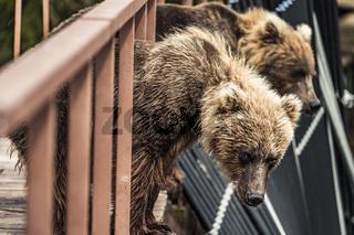 Bear in Kamchatka. brown bear in bridge in Kamchatka, Russia