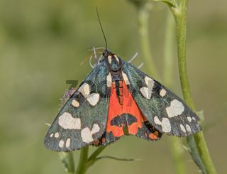 Schönbär 'Callimorpha  dominula'