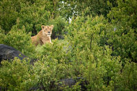 Lioness lies on rocky mound with bushes