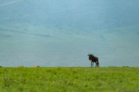 White-bearded wildebeest stands on savannah before hills