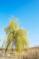 Baum zwischen Reet vor blauem Himmel
