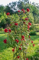 Red roses climb a rose arbor
