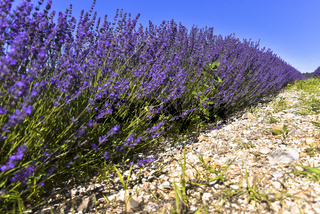 Nahaufnahme einer Lavendel-Reihe