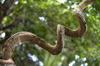 Gewundener verholzter Stamm des Afrikanischen Traumkrauts (Entada rheedei), Madagaskar