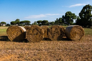 Straw bales drying on a sunny day with trees on the landscape.
