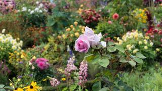 Pinke Rose im Garten