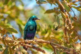 Cape starling in Kruger National Park