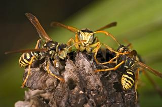 Wasps (Polistes bischoff)