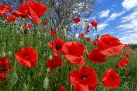 Rote Mohnblumen an einer Böschung