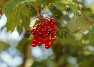Gemeiner Schneeball (Viburnum opulus) Beerenfrüchte nicht essbar