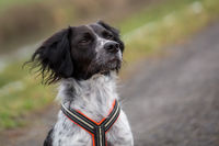 Outdoor portrait of a young black and white brittany spaniel wearing a black, white and orange harness
