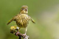 Juveniler Gruenfink bettelt