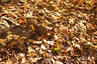 Squirrel looking for nuts in fallen leaves