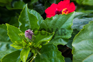 Red Ibiscus bud and flower on the background.