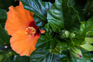 Red Ibiscus flower buds in green leaves with orange hibiscus background.