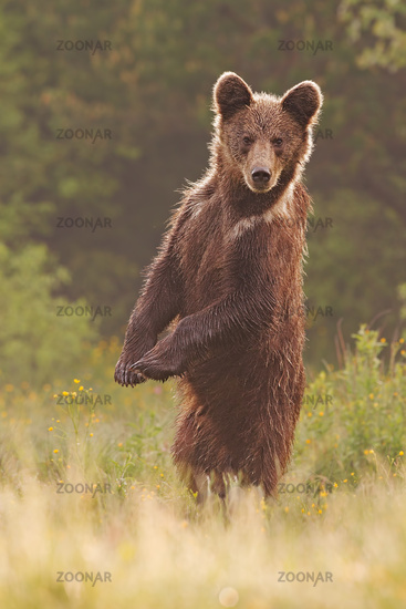Young wild curious brown bear, ursus arctos, standing in upright position