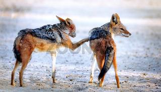 Schabrackenschakale, Kgalagadi-Transfrontier-Nationalpark, Südafrika, (Canis mesomelas) | black-backed jackals, Kgalagadi Transfrontier National Park, South Africa, (Canis mesomelas)