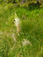 Ährige Teufelskralle, Weiße Teufelskralle, Phyteuma spicatum