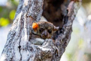 sportive lemur, Madagascar wildlife