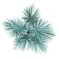 silver fan palm tree isolated on white background. top view