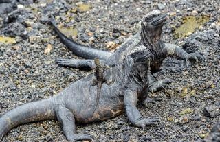 Marine iguanas with a lizard. Ecuador