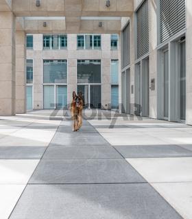Deutscher Schäferhund und moderne Architektur