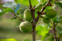 Unripe apricots on the orchard tree in the garden. May
