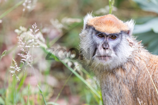 Patas Monkey Portrait