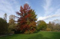 Herbststimmung im Kurpark - Sicheltanne (Cryptomeria japonica), Sugi oder Japanische Zeder